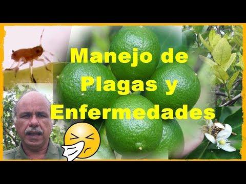 Plagas Y Enfermedades En El Cultivo Del Limón