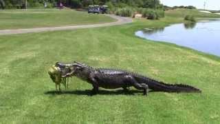 Oyster Bay Golf Links - Alligator