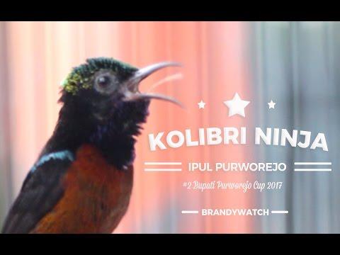 SUARA BURUNG: Kolibri Ninja Purworejo Berirama Syahdu Ngeroll Nembak