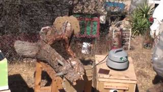 Removing A Feral Bee Hive From A Tree Limb