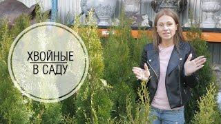 видео Карликовые хвойники для садового участка
