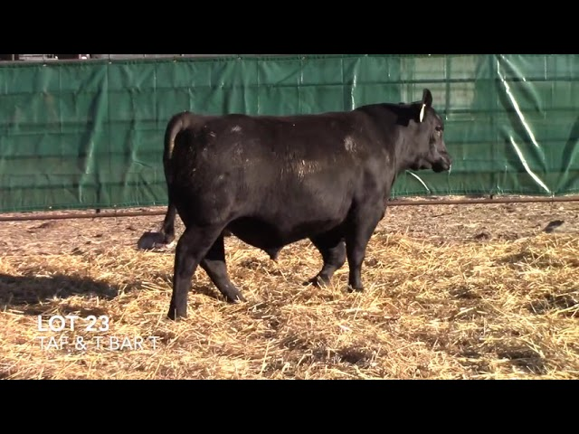 T Bar T and Taliaferro Angus Lot 23