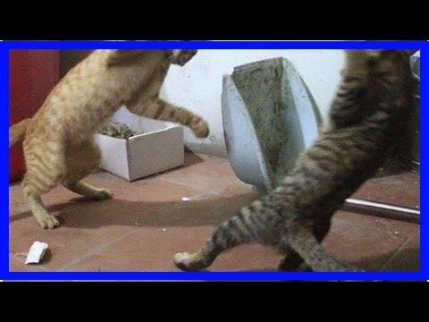 主人家橘貓和狸花打架,這姿勢也是醉了,這可是高手過招啊!