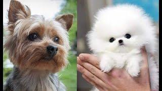 Top 10 razas de perros mas pequeños del mundo