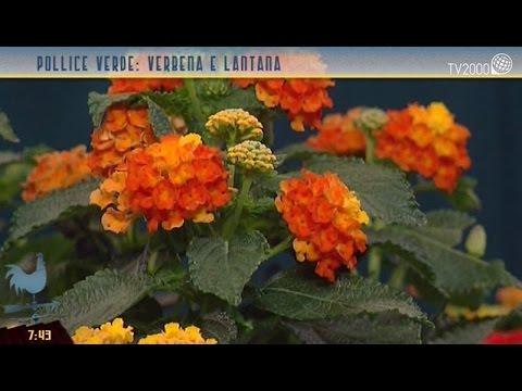 Pollice Verde: Verbena E Lantana