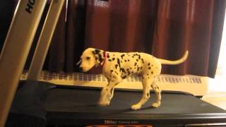Funny Dalmatian Videos | Funny Dalmatian Puppies| Dalmatian Dog Barking Documentary