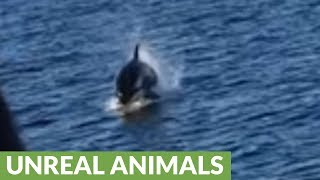 Killer whales come charging in for their dinner