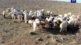 الزراعة تؤكد توفر اللحوم بكميات كافية خلال شهر رمضان