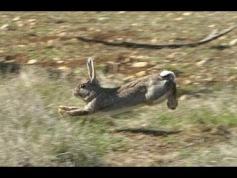 BEAGLES CHASSE LAPIN 2018 - YouTube