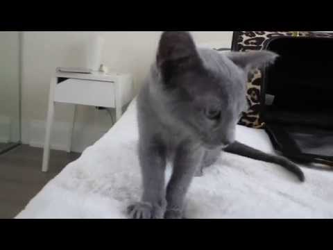 First Day with Russian Blue Kitten 'Nova'