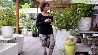 Kocham Tę Roślinę - Guzikowiec Zachodni S03 E03