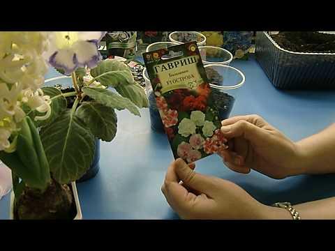 Бальзамин – комнатный и садовый, сорта бальзамина, фото