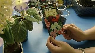 видео Бальзамин садовый - выращивание из семян в домашних условиях