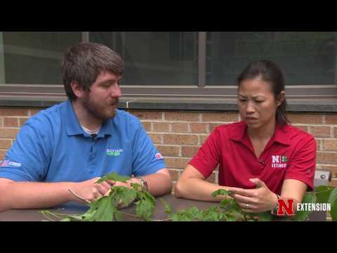 Chemical Drift or Aphids