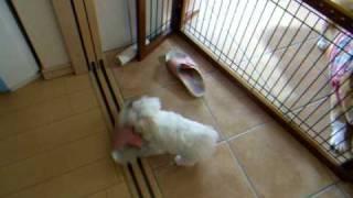 マルチーズの子犬、3ヶ月。☆うちに来て3日目です。只今、スリッパ運び...