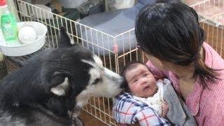 Postnatal Two weeks huskys Grandchildren 生後2週間位 アリスばっか...