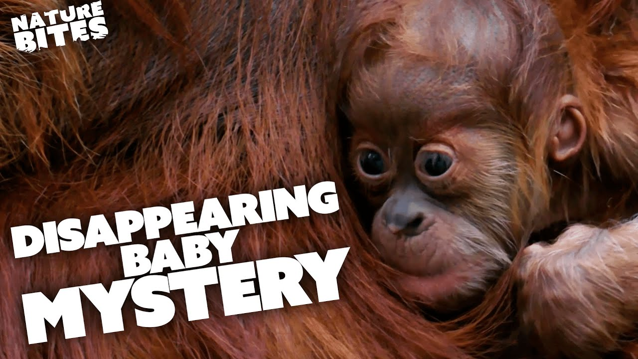 Download The Mystery of an Orangutan's DISAPPEARING Baby   The Secret Life of the Zoo   Nature Bites