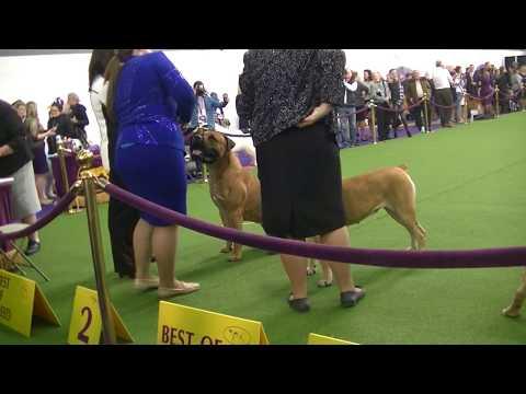 Boerboel Westminster dog show 2018
