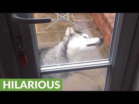 Alaskan Malamute humorously confused by raindrops