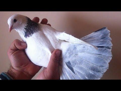 Старопородные Армянские Голуби - Степан Куюмджян снимает Голубеводов Армении/Armenian Pigeons(Карен)