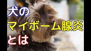 【愛犬のための知識】犬のマイボーム腺炎とは【犬を知る】