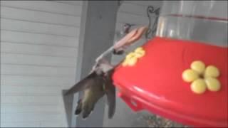 Praying Mantis murders humming bird & eats it