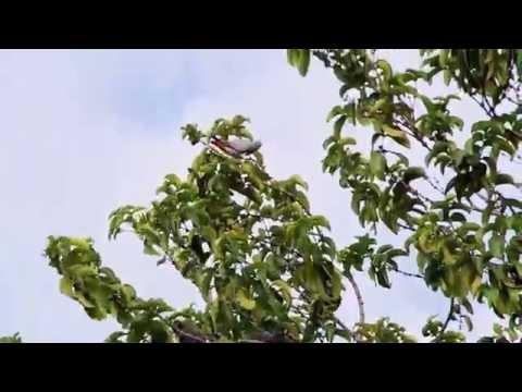 African Grey Parrots in Gamba, Gabon