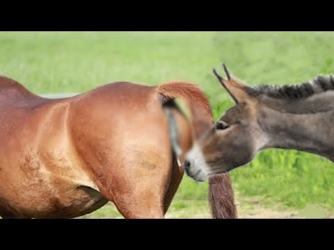 Download Super Murrah Donkey and Horse Meeting | Mule Donkey meeting with mare