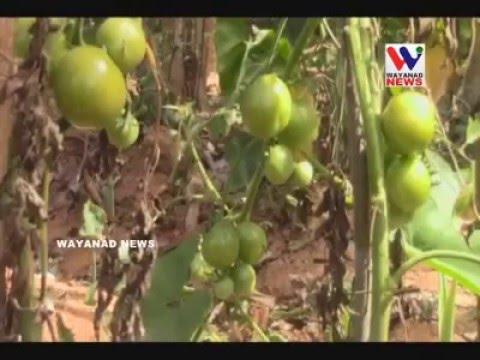 Organic Farming in Markaz Darul Bayan Campus. Wayanad