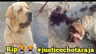 Chota Raja Labrador 😭 Dark Side Of The Dog Business छोटा राजा की मौत का कारण सुन लो Rajaland Kennel