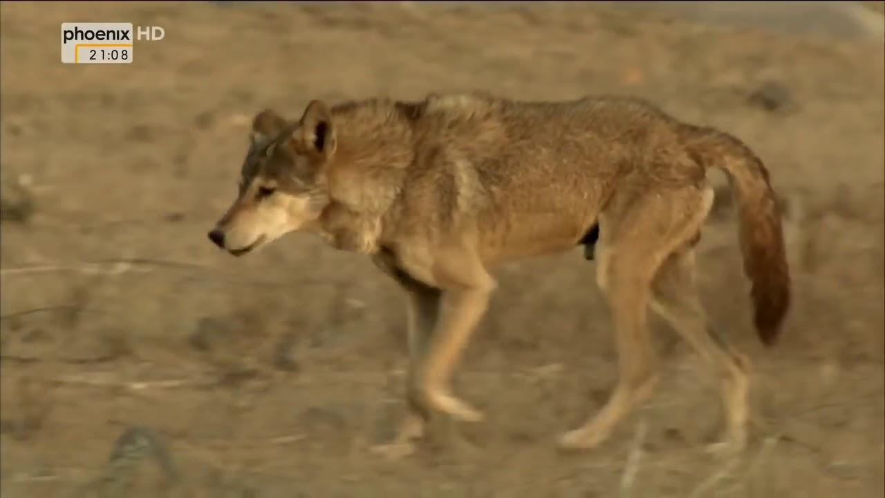 Doku Wölfe