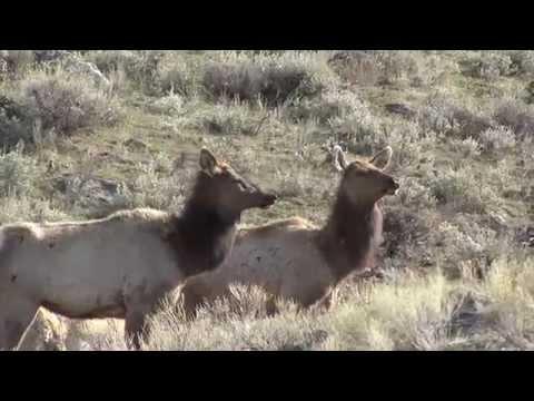 Yellowstone wildlife, WY, USA