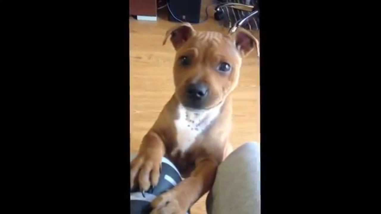 Staffie 4 mois - YouTube