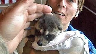 Feeding & Toilet Training BABY RACCOON