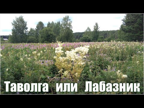 Таволга вязолистная и обыкновенная или лабазник - лечебные свойства и применение