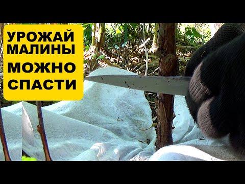 Малинная стеблевая галлица  Как бороться летом чтобы спасти урожай малины