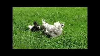 Chabo kokoši (1,5 meseca)
