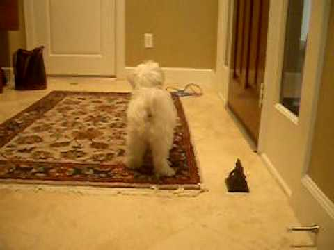 max-rings-his-bell-to-go-outside-(potty/bell-training-for-dogs)