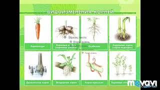 Условия произрастаниях и видоизменения корней. Биология в стихах, 6 класс.