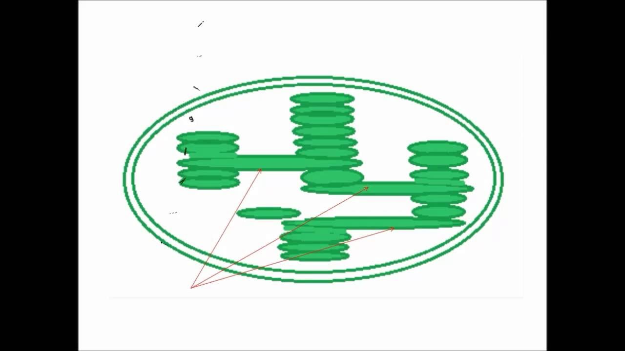 How to draw chloroplast step by step drihab alman youtube how to draw chloroplast step by step drihab alman ccuart Choice Image
