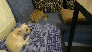 Кошка Ласка играет с собакой Соней/Чихуахуа/