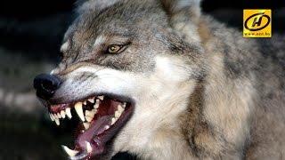 Волк напал на людей и домашних животных в Гомельской области