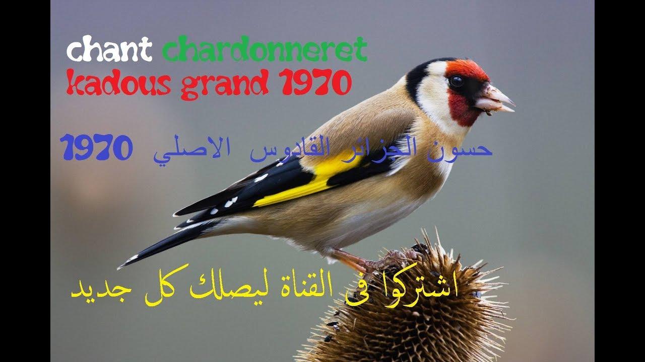 chant chardonneret kadous