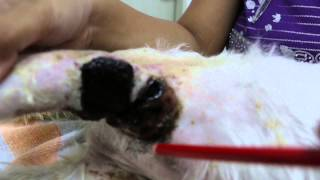 A 16-year-old dog has an obnoxious smelly armpit wound - 3rd opinion