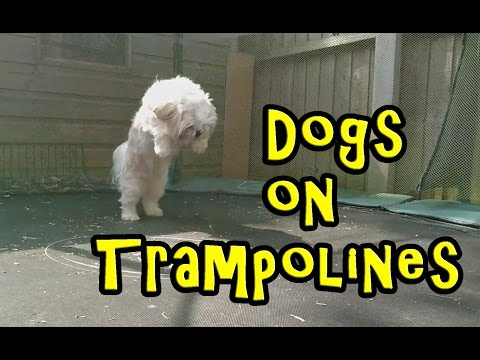 Dogs on Trampolines Compilation 2016 [NEW]