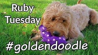 Goldendoodle Gets New Pig Toy