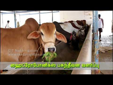 ஹைட்ரோபோனிக்ஸ் தீவனம் மாடு உண்பது - Cattle feeding on Hydroponics feed