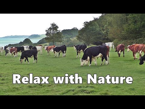Relax Your Dog TV : Videos for Dogs to Watch - Cows at The Coast
