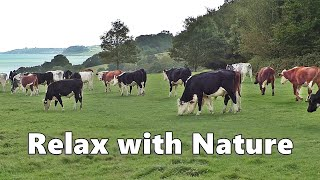 Relax Your Dog TV : Videos and TV for Dogs to Watch  Cows at The Coast ~ Relax with Nature