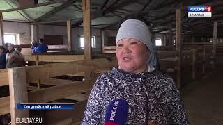 В Онгудайском районе выбрали лучших стригалей